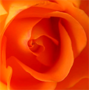 Orange roses, long stem florist orange roses now available at wholesale basis for your florist shop in USA and Canada... Orange France roses, Miracle orange roses, Coral Sea orange roses, Sombrero orange roses,... Rose Connection Inc. Los Angeles California offers the most fresh and premium orange flowers in USA and Canada, wholesale roses to florist shop at wholesale prices Fedex Free delivery included