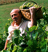 Wine production process, italian, france, australia, california, chile wineries... grapes Harvesting, Crushing, grape's Juice separation, Pressing, Fermentation, Must treatment, wine Clarification, wine filtration, centrifugation and final refrigeration... Send and share your wine and wineries capabilities with the global wine industry...